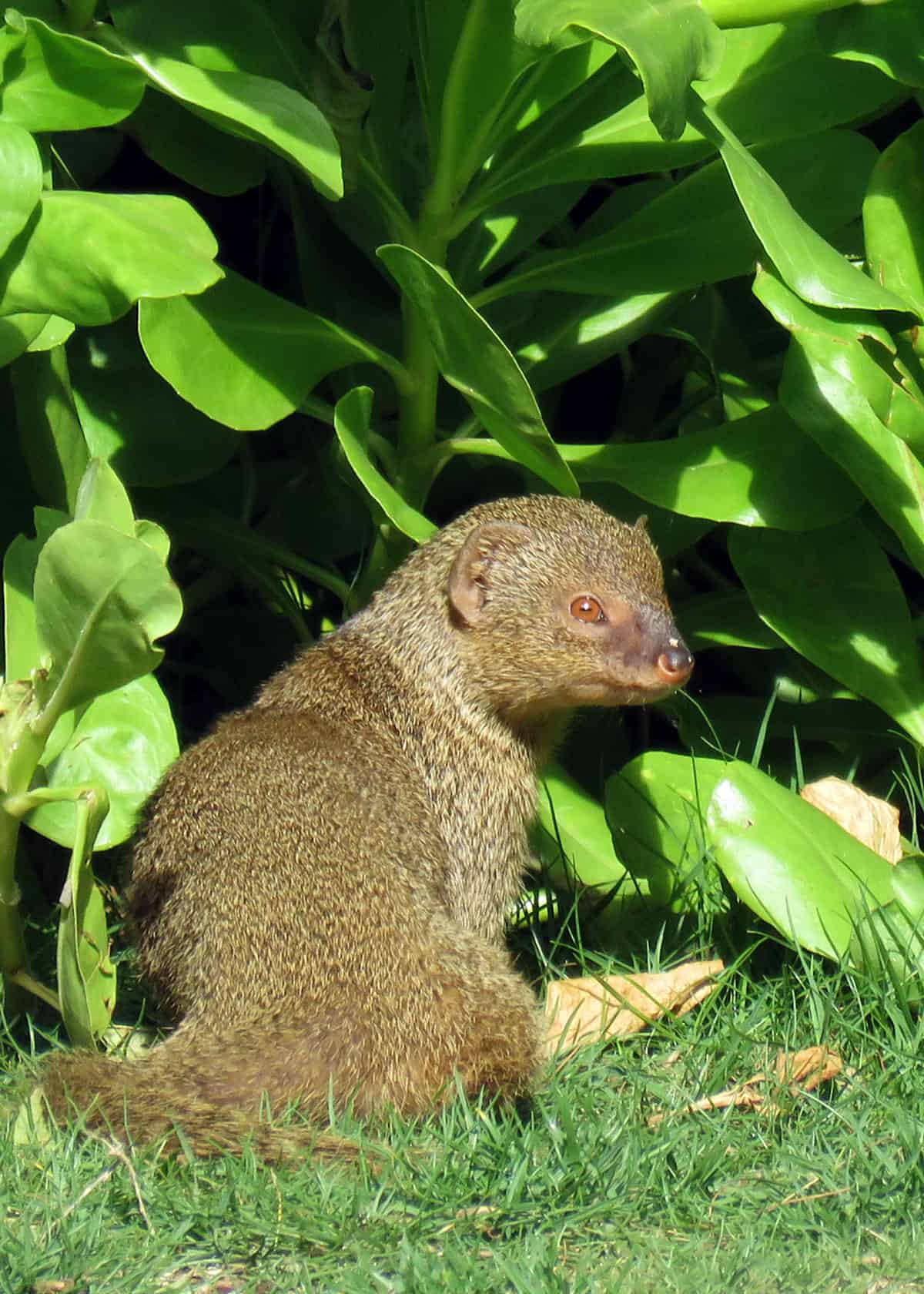 Is a mongoose a rodent?