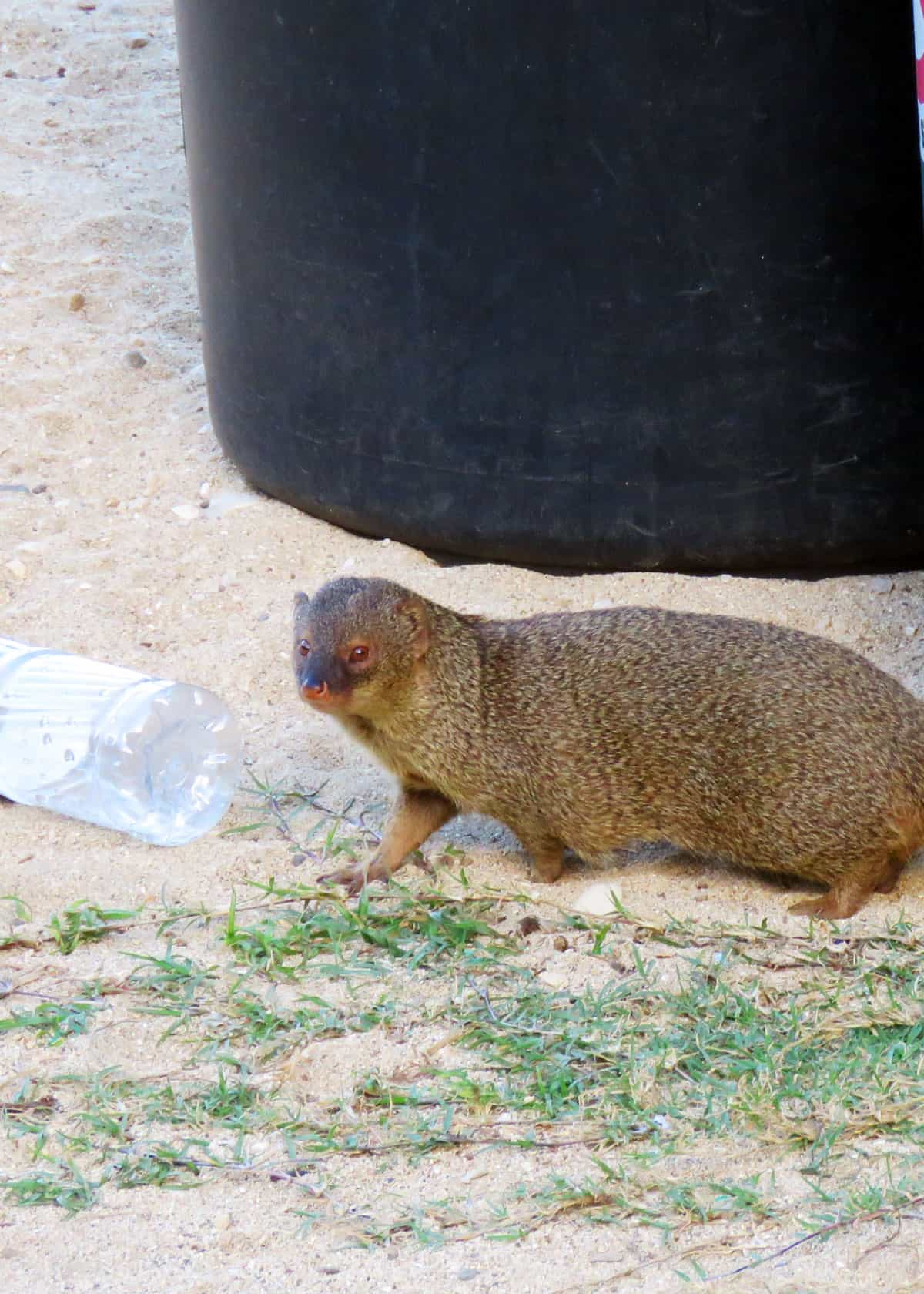 Mongoose invasive species