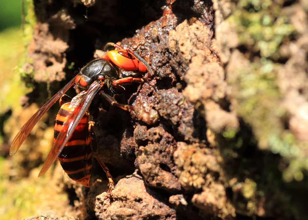 Dangerous Japanese hornet