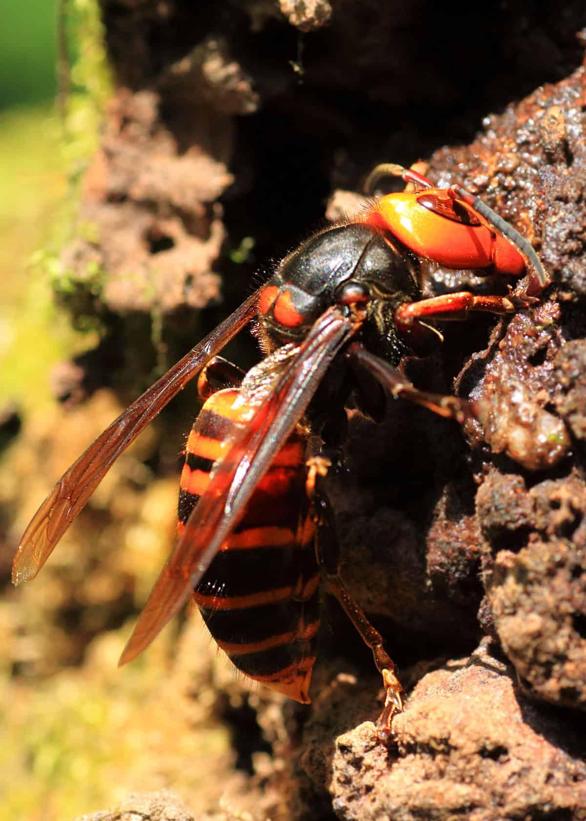 Giant Japanese hornet building nest
