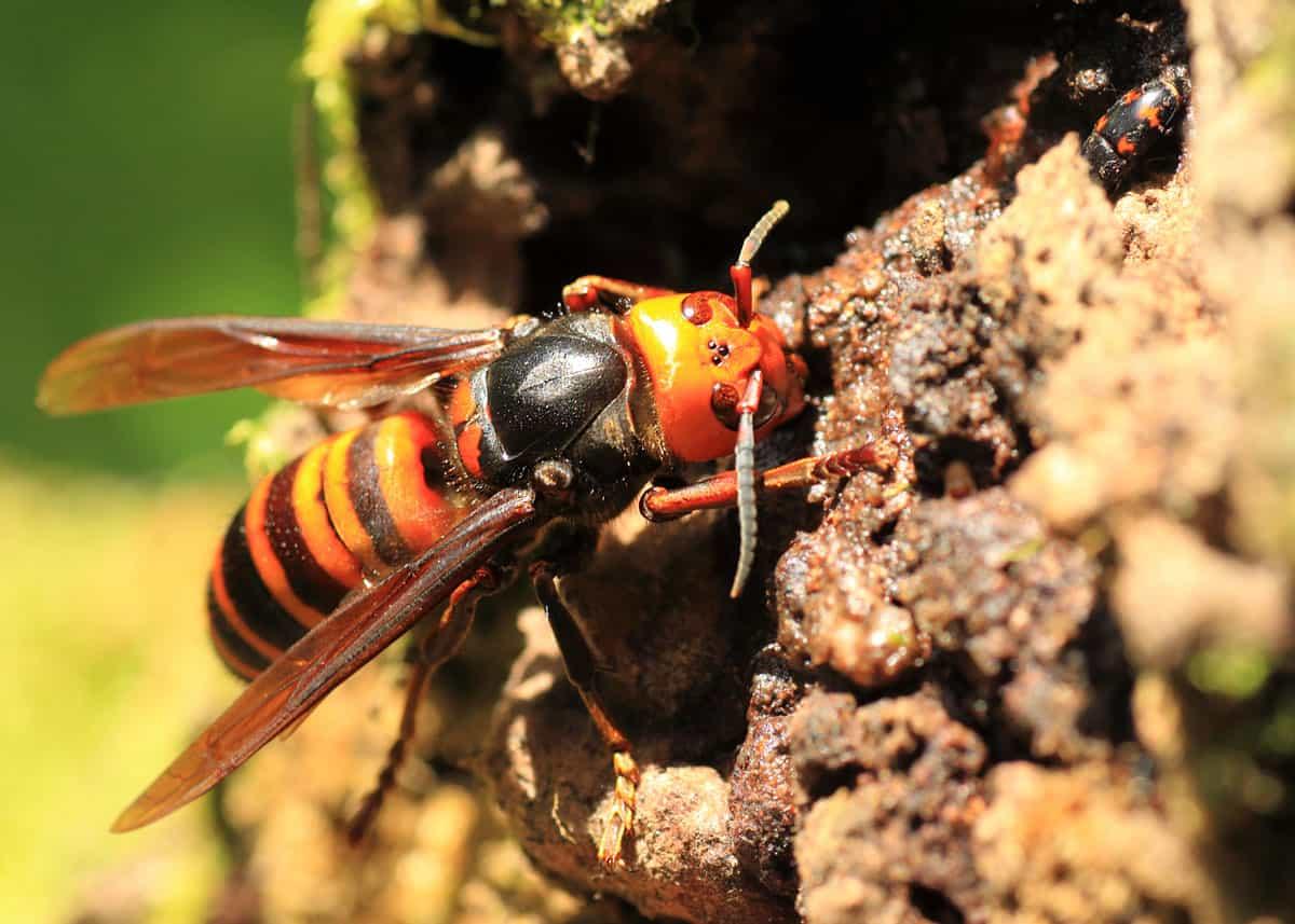 Japanese hornets