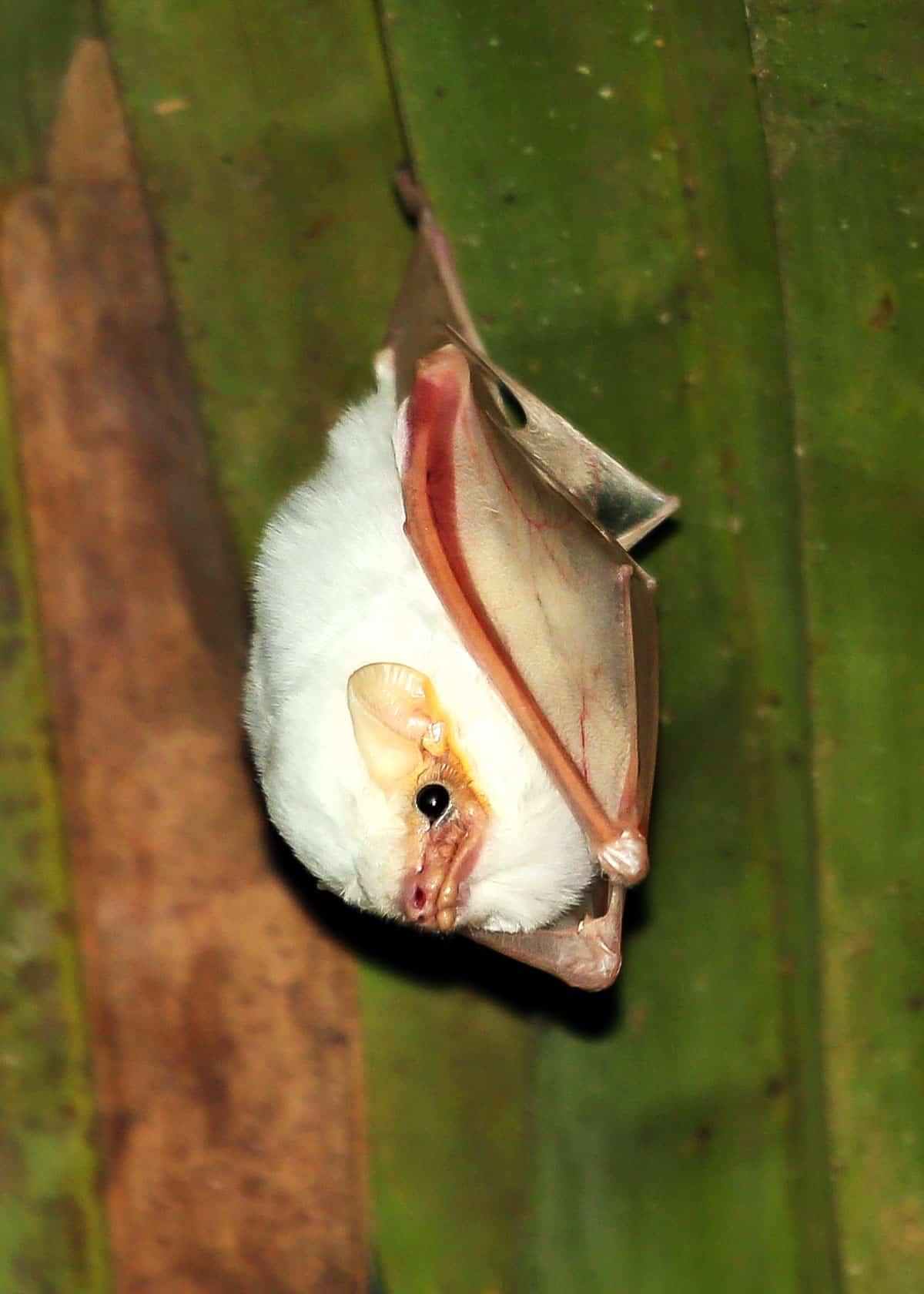 Adorable white bat