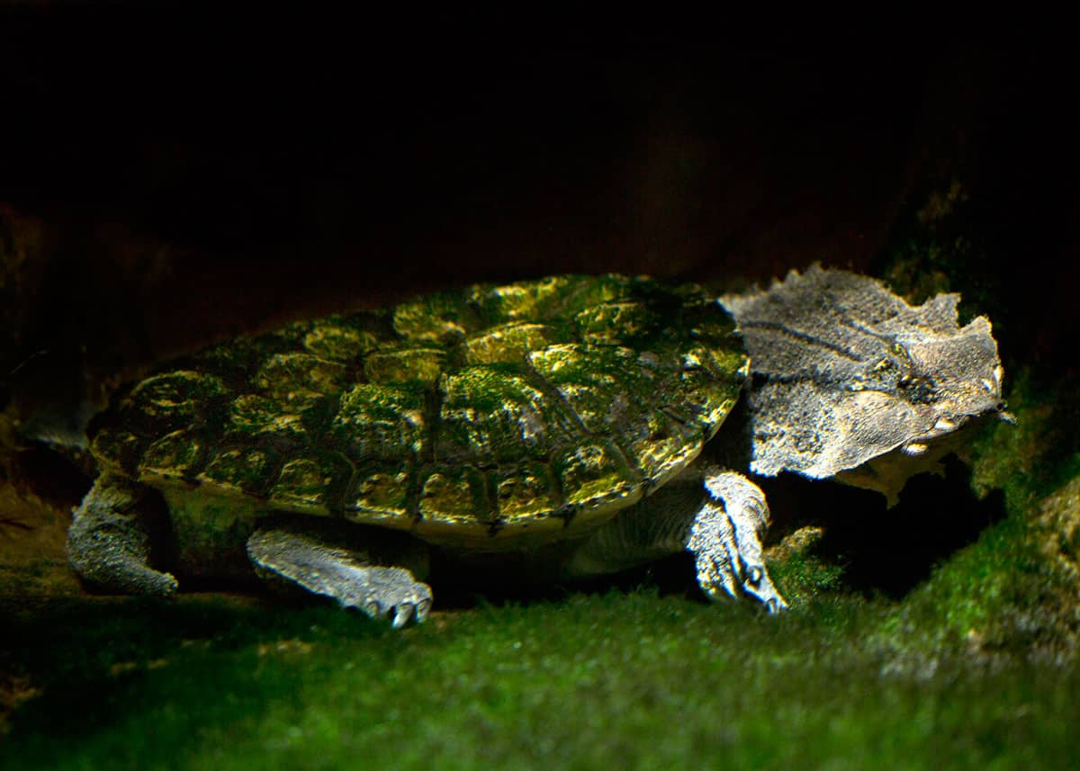 Matamata turtle facts