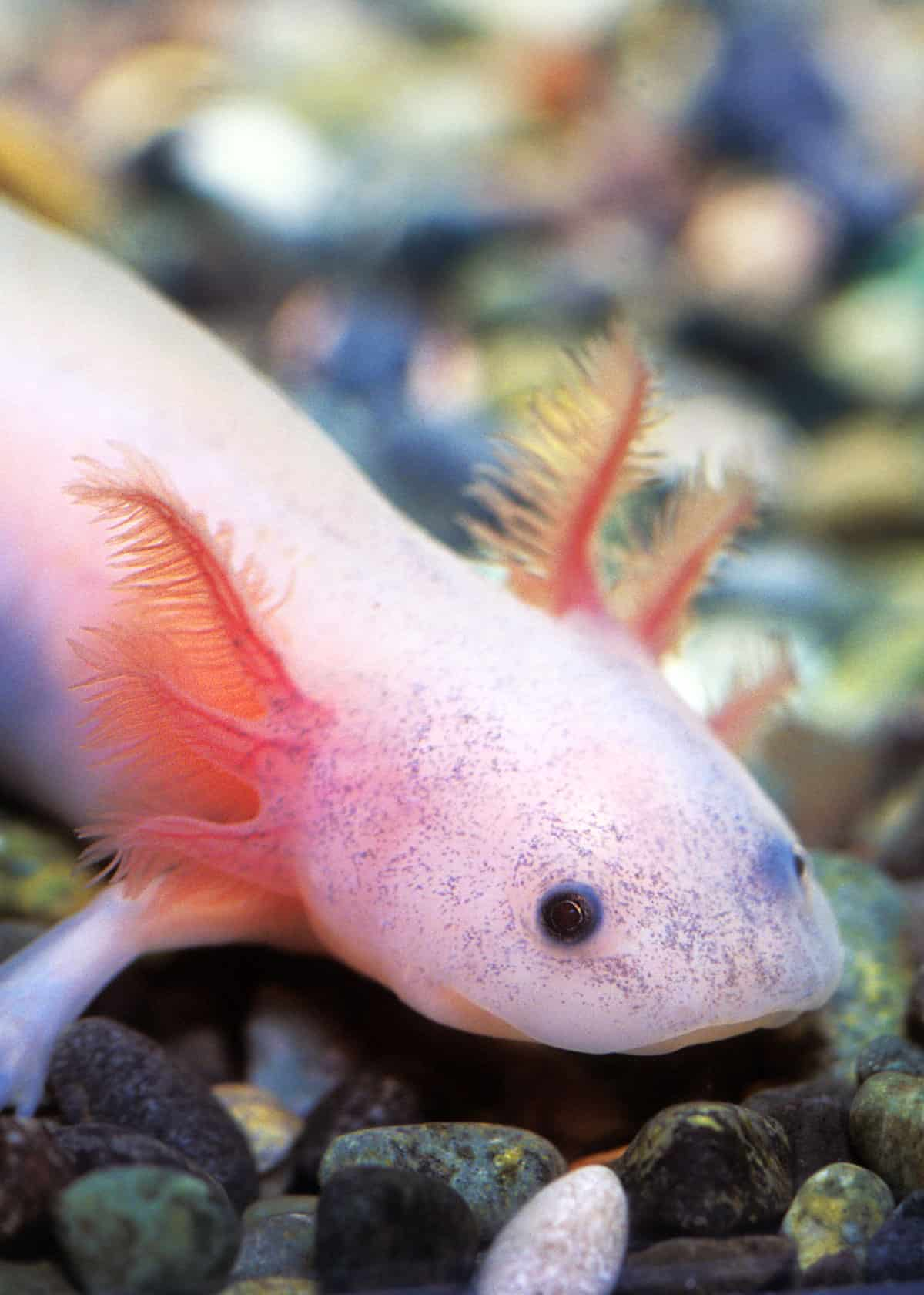 68 Axolotl Facts: Ultimate Guide to the Adorable Mexican