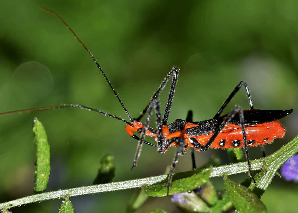 46 Milkweed Assassin Bug Facts: Brutal Insect Executioners (Zelus