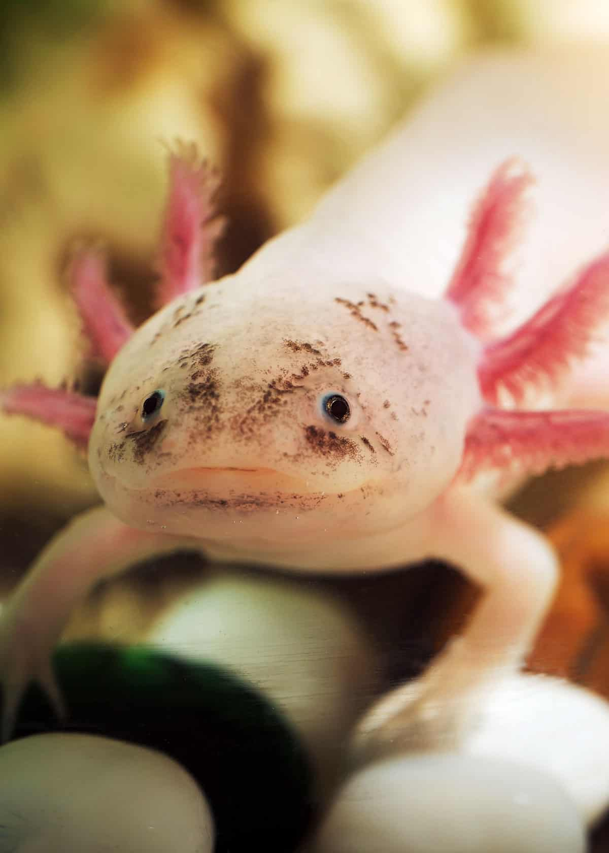 68 Axolotl Facts: Ultimate Guide to the Adorable Mexican Walking