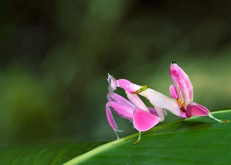 Weird animal orchid mantis