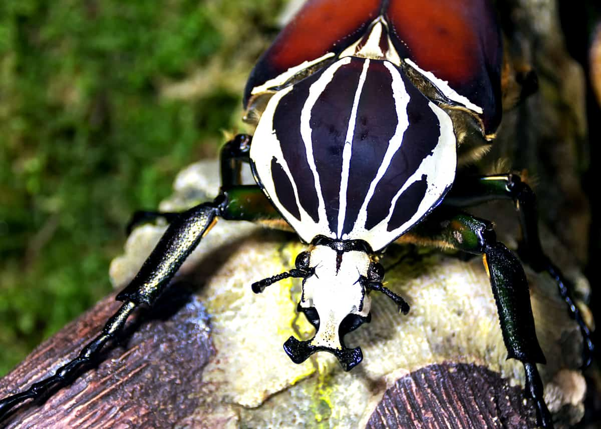 Beautiful Goliath Beetles