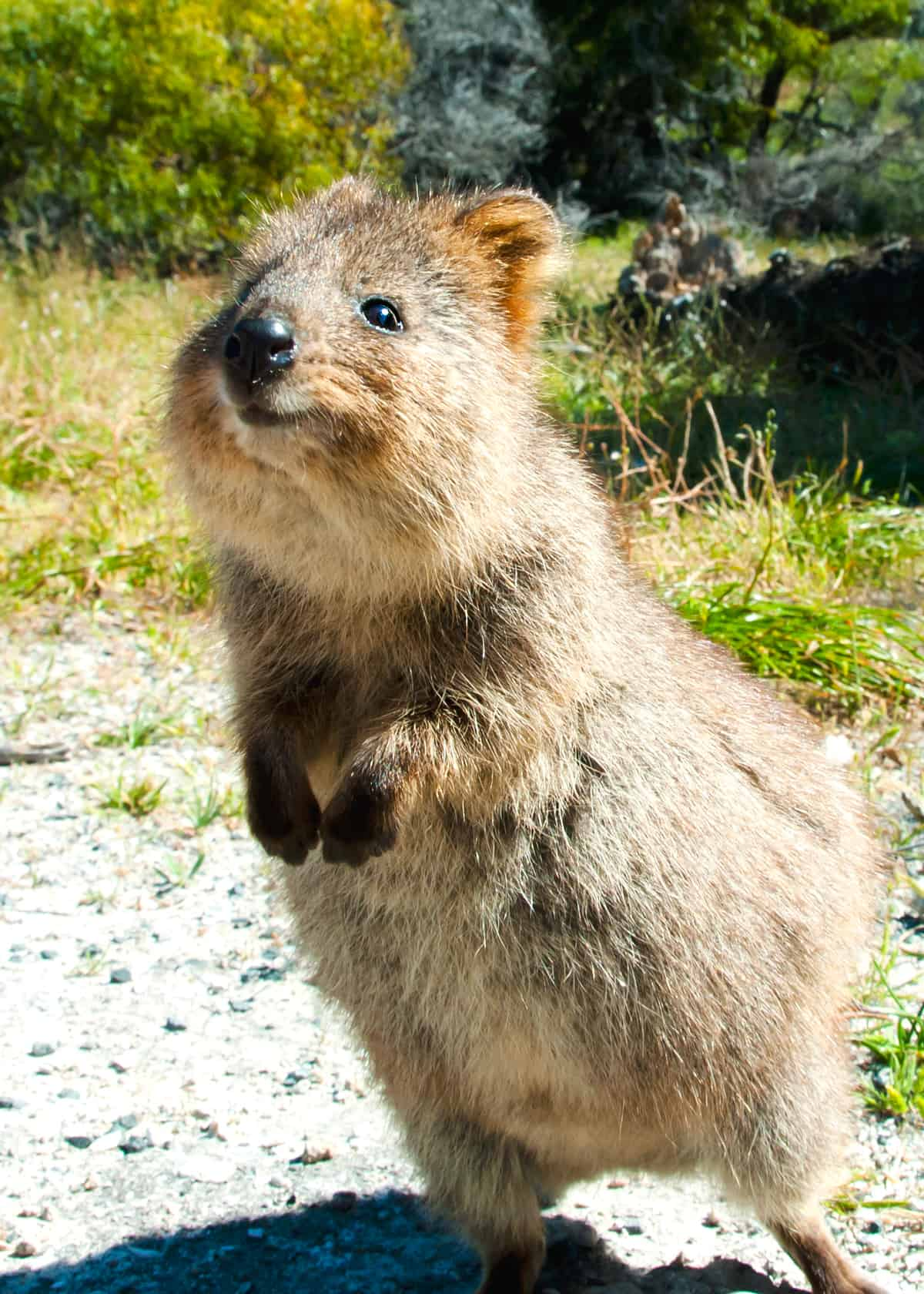 Happy quokka