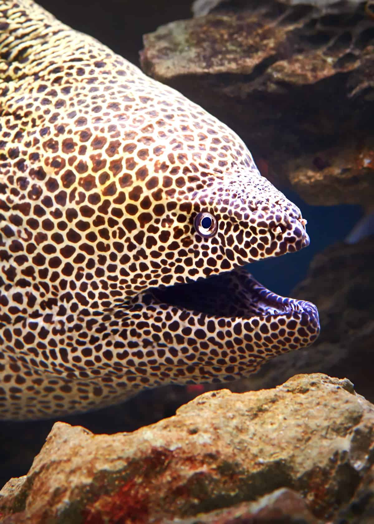 Moray eel facts
