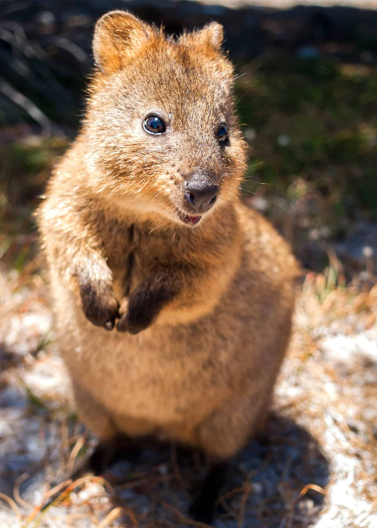 Quokka facts