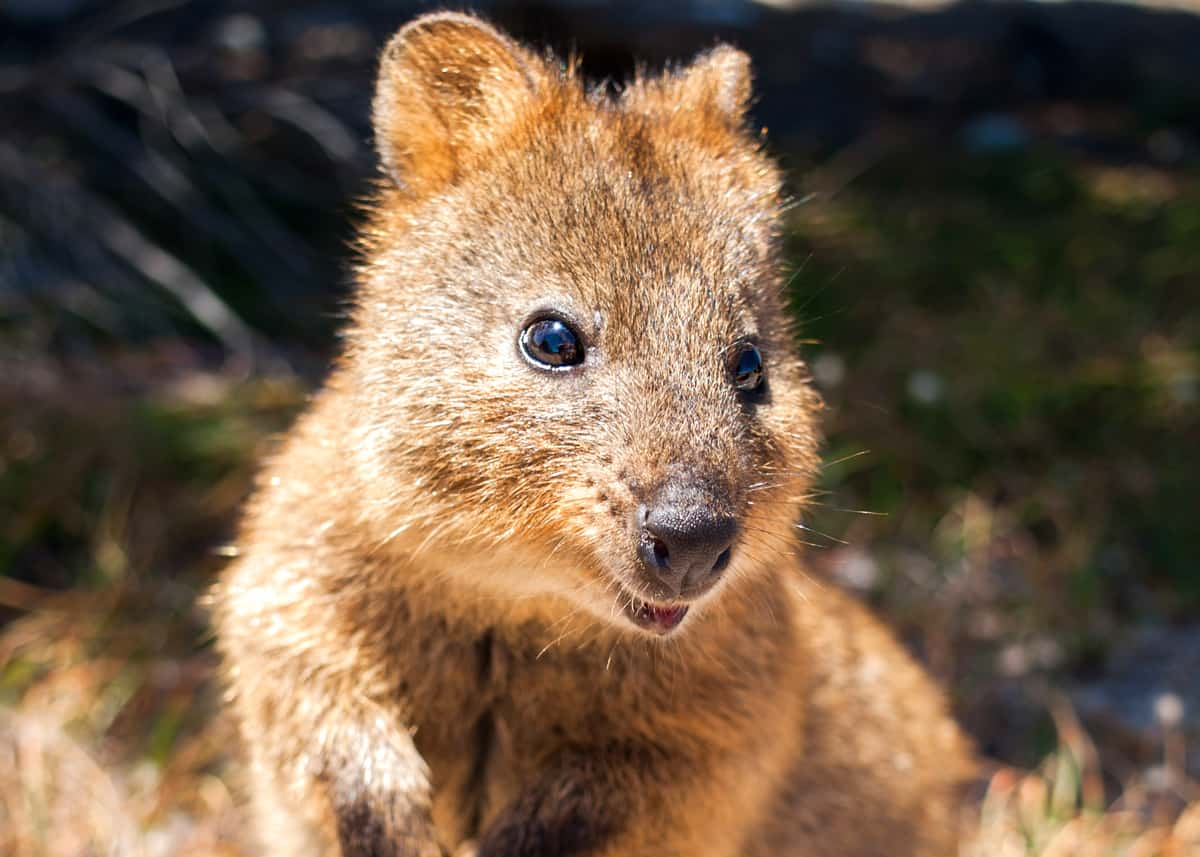 50 Quokka Facts: Smiling, Baby-Flinging, Selfie Kings! | Everywhere Wild