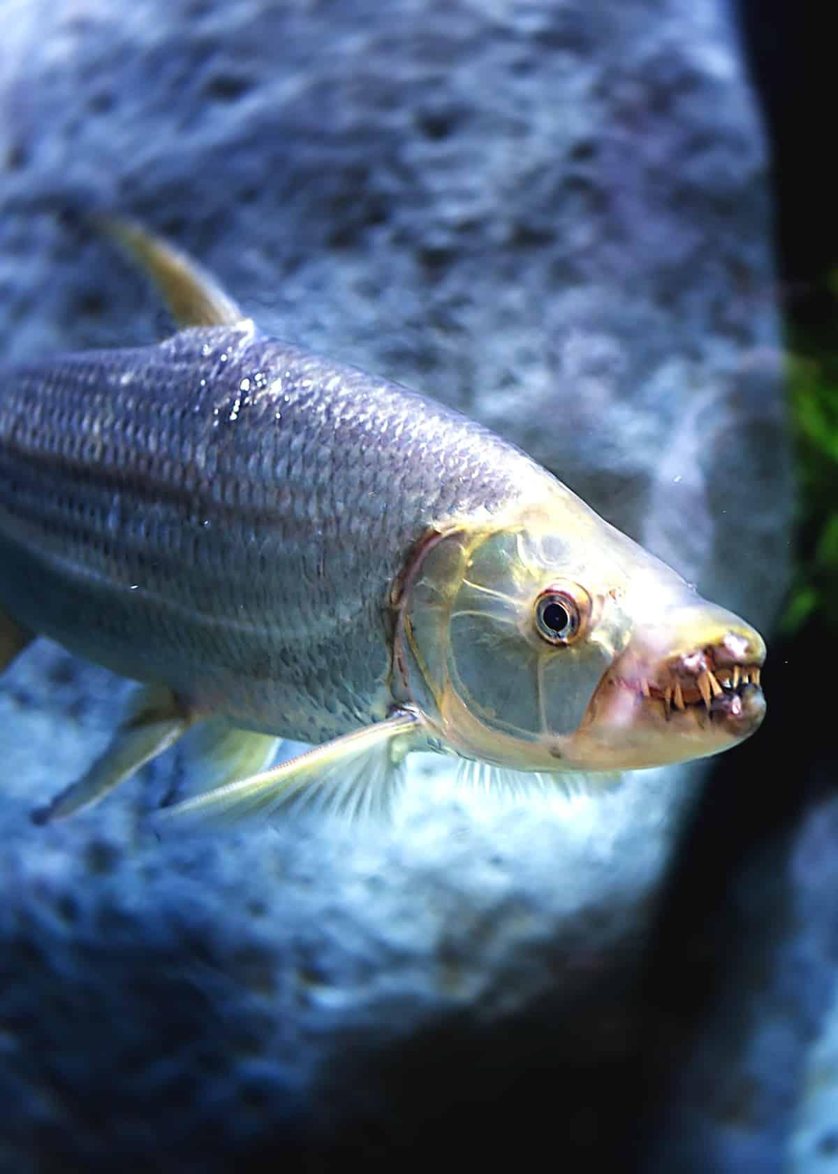 Scary animals goliath tiger fish