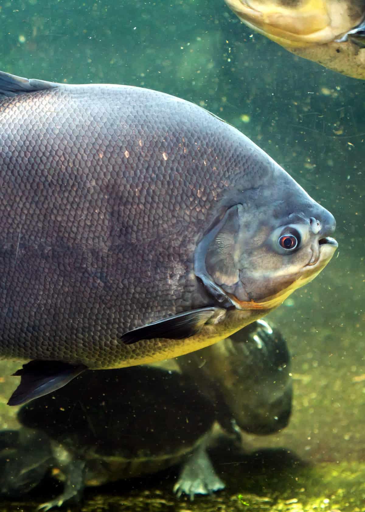 blackfin pacu fish