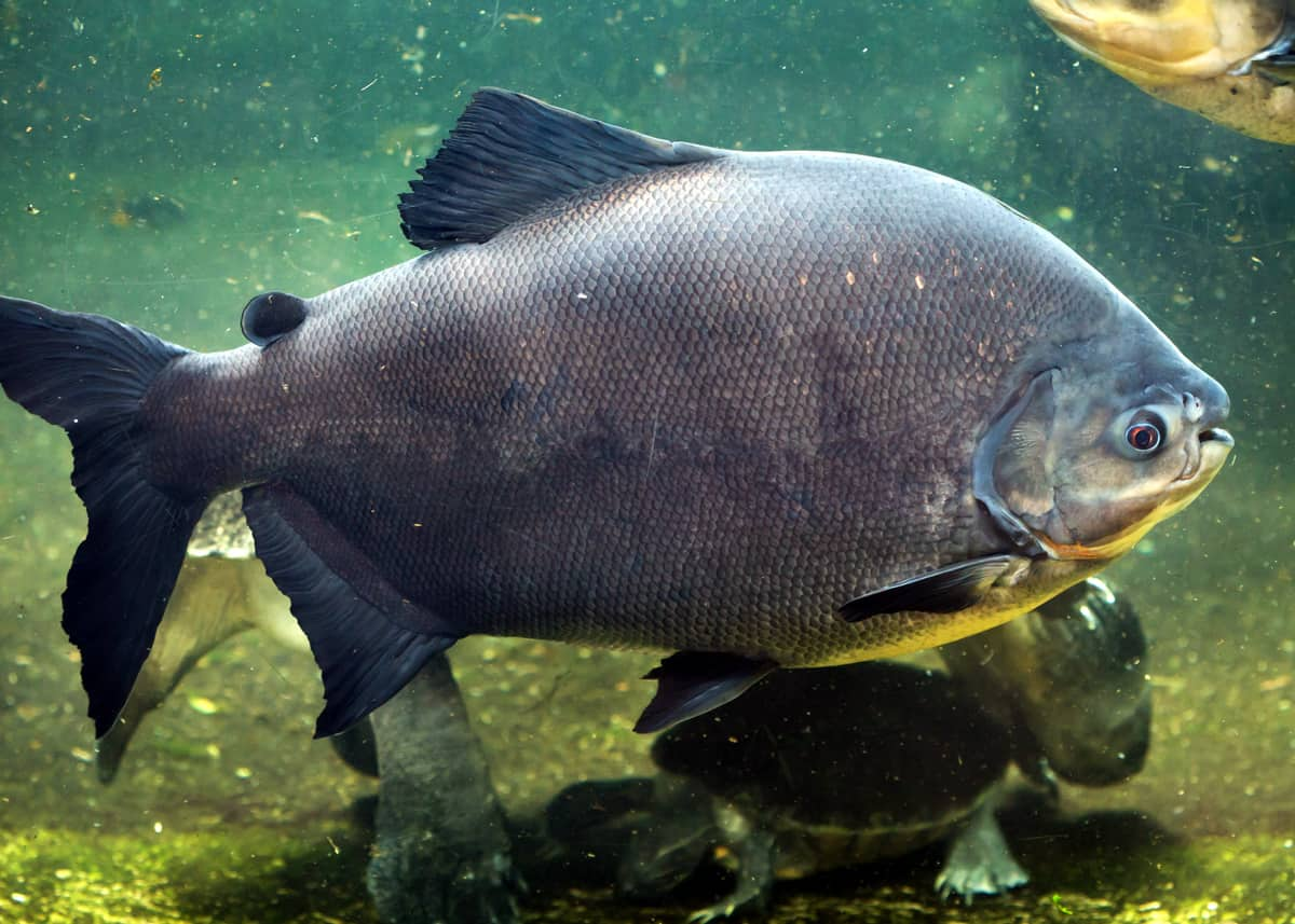 facts about pacu fish