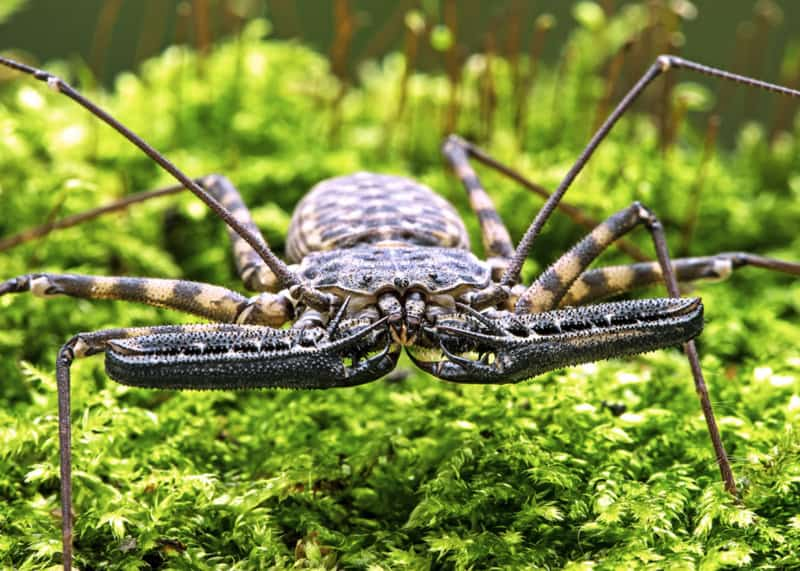 tailless whip scorpion facts